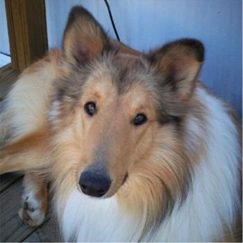 collie_dog